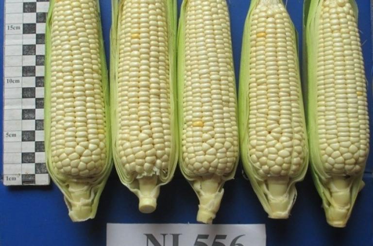Một số giống ngô nội được gieo trồng nhiều ở các tỉnh
