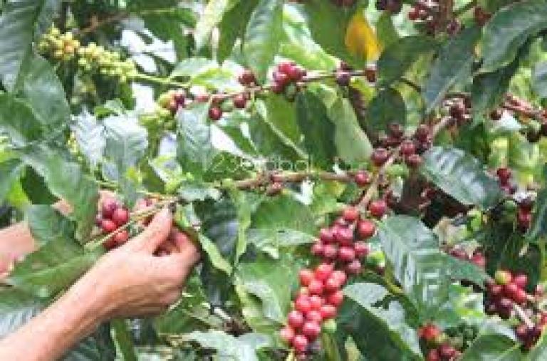 Biến đổi khí hậu ảnh hưởng thế nào đến cà phê