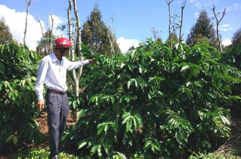 Đắk Nông thực hiện thành công mô hình tái canh cà phê