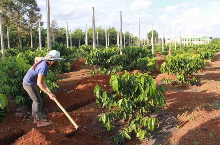 Giống và vốn là điều kiện tiên quyết tái canh cây cà phê