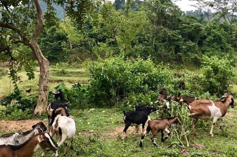 Từ nghèo đói trở thành triệu phú nuôi dê ở bản Mông