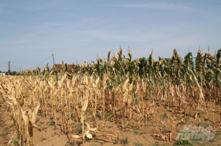 Đẩy mạnh chuyển đổi cây trồng ứng phó hạn hán khốc liệt ở Bắc Trung Bộ