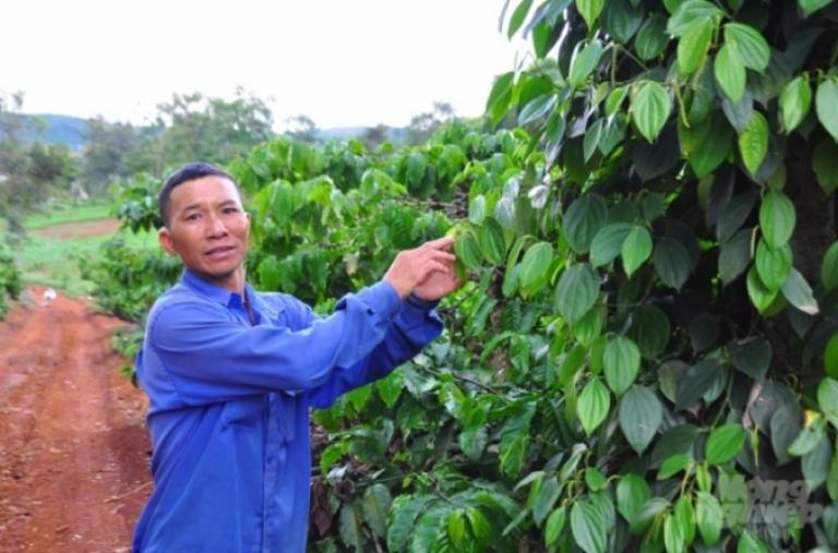 Giá cà phê sụt sùi, nông dân vẫn sống khỏe nhờ sản xuất theo liên kết