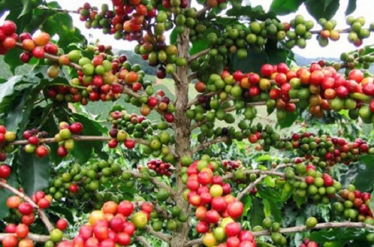 """Cà phê Việt Nam """"hút"""" người tiêu dùng EU"""