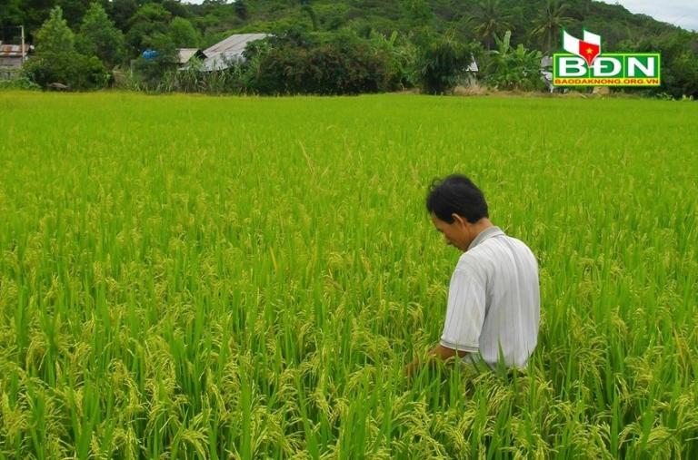 Sản xuất lúa ở Krông Nô chuyển dần theo hướng hữu cơ