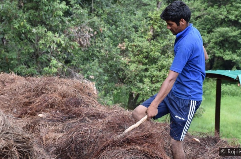 Biến lá thông thành nguồn sinh kế bền vững