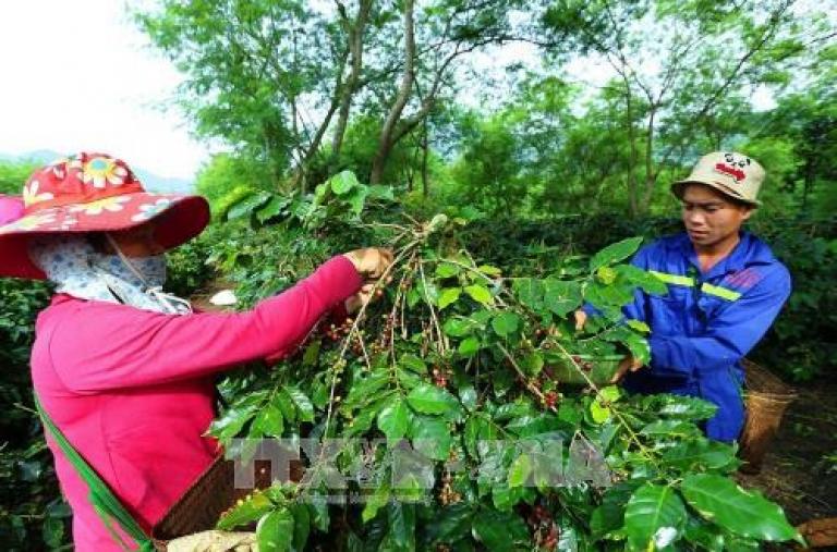 Khuyến cáo người dân thu hoạch cà phê đảm bảo chất lượng