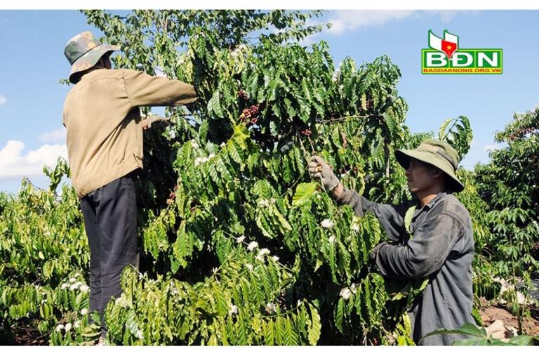 Đắk Nông: Cây cà phê mang