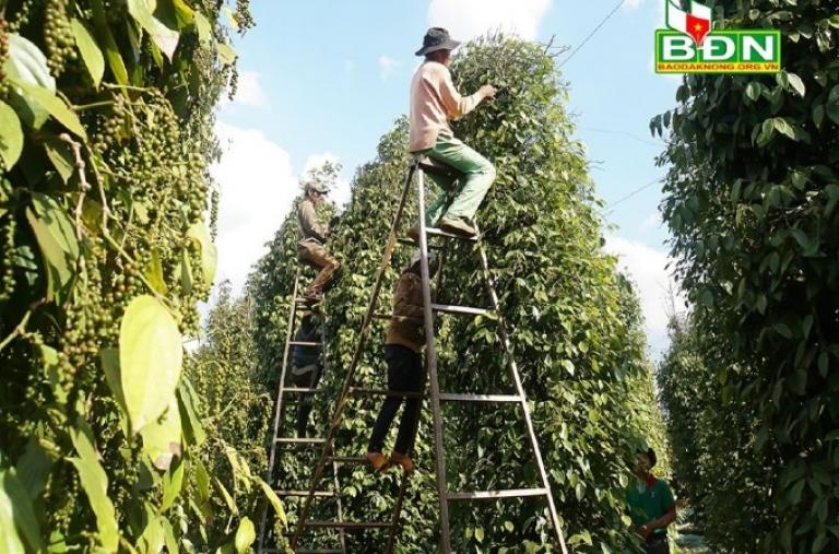 Đắk Song phát triển hồ tiêu hữu cơ bền vững