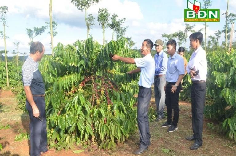 Hiệu quả từ chương trình tái canh cà phê ở Đắk Mil