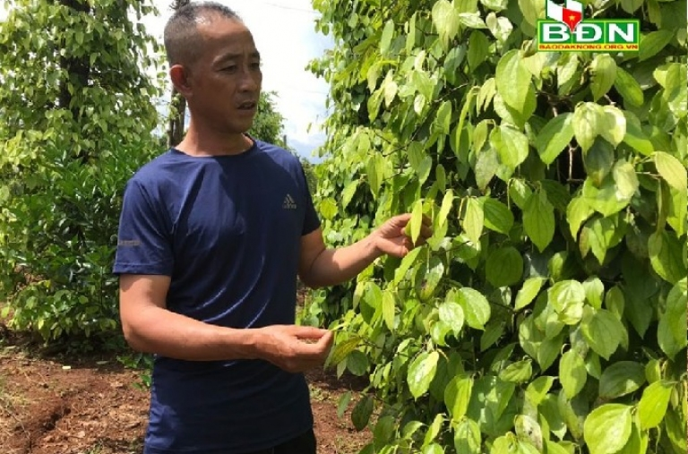 Nâng cao năng suất vườn tiêu bằng chế phẩm sinh học