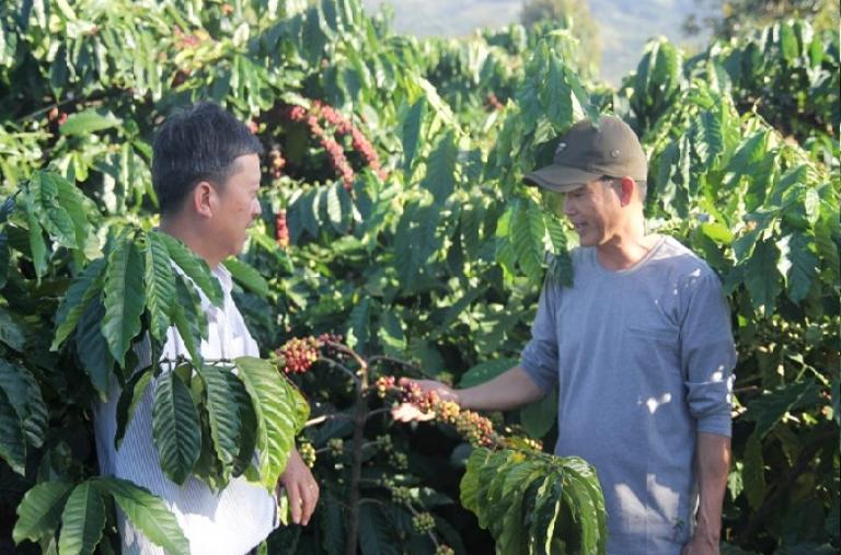 Di Linh đẩy mạnh trồng cây công nghiệp theo hướng an toàn
