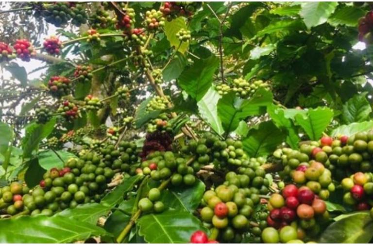04/10/2021 Niên vụ cà phê mới 2021 – 2022: Đầy hứa hẹn nếu…