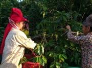 Thực hành hái cà phê Arabica tại Tây Bắc